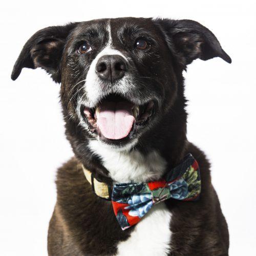 Red Dahlia Dog Bow